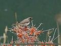 Dark-throated Thrush (Turdus ruficollis) (34874464042).jpg