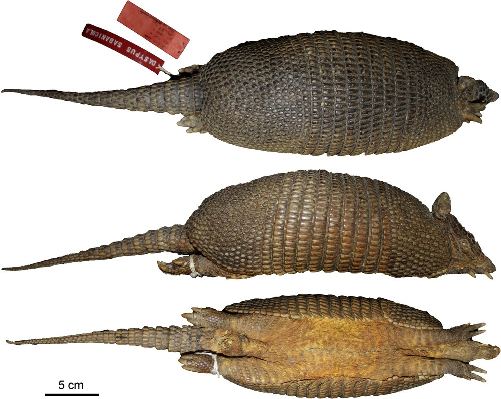 The average litter size of a Llanos long-nosed armadillo is 4