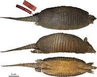 Dasypus sabanicola - Feijo et al 2018 holotype.tif