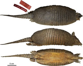Llanos long-nosed armadillo species of mammal