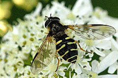 240px dasysyrphus.venustus. .lindsey
