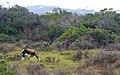 De Hoop Nature Reserve, Bontebok - panoramio.jpg