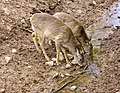 Deer, The Magnetic Hill Zoo, Moncton, New Brunswick, Canada (38652959720).jpg