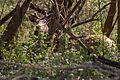Deer thinks he is hidden.jpg