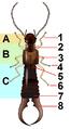 Dermaptera body plan.png
