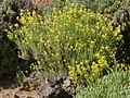Descurainia bourgaeana Tenerife 1.JPG