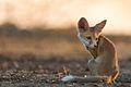 Desert Fox at Sunset.jpg