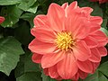 Dhalia from Lalbagh flower show Aug 2013 7924.JPG