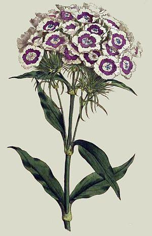 Curtis's Botanical Magazine - Dianthus barbatus Plate 207 (1793)