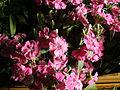 Dianthus barbatus (3).JPG
