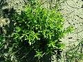 Dianthus barbatus 2019-04-30 2278.jpg