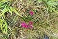 Dianthus barbatus L. (AM AK362181-3).jpg