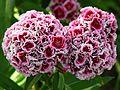 Dianthus barbatus flowers 03.jpg