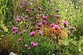 Dianthus carthusianorum.jpg