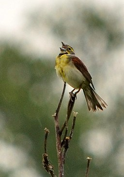 Dickcissel singing in the rain (7312757016)