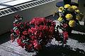 Dicksons Florist flower shop azaleas 06.jpg