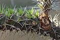 Didierea trollii 1zz.jpg