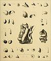 Die tertiären und quartären Versteinerungen Chiles (1887) (20948545165).jpg