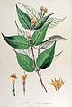 Diervilla canadensis — Flora Batava — Volume v15.jpg