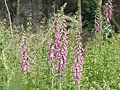 Digitalis purpurea1.jpg
