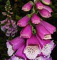 Digitalis purpurea 2015-06-20 3389.jpg