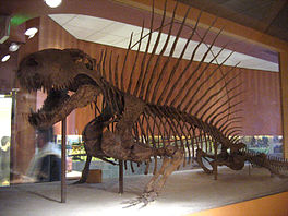 In skelet fan 'e Dimetrodon grandis, yn it Smithsonian te Washington, D.C..