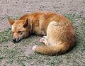 Dingo Australia Zoo QLD.jpg