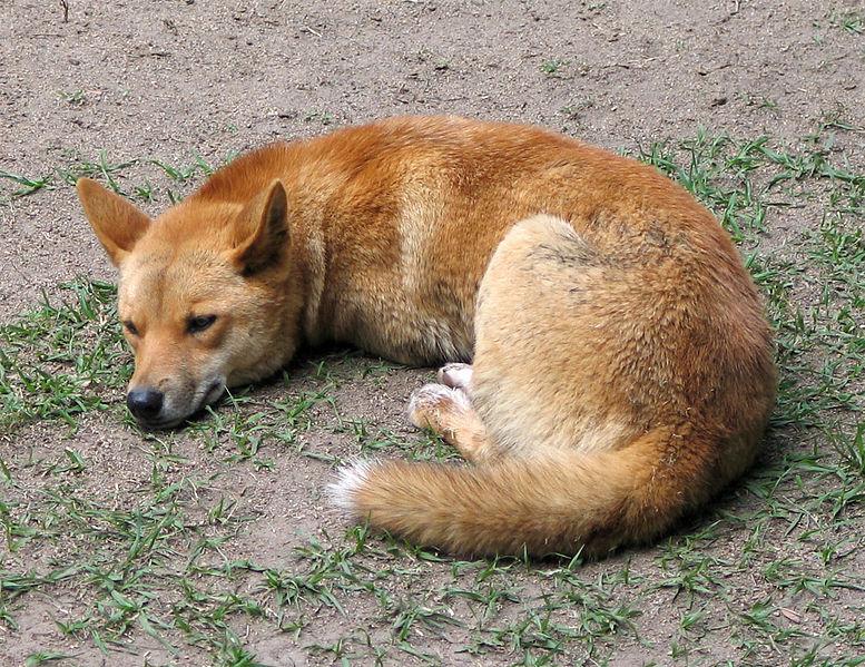 Soubor:Dingo Australia Zoo QLD.jpg