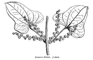 Dioscoreales - Male Dioscorea batatas (''D. polystachya'') in Hooker's A General System of Botany 1873
