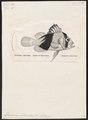 Diploprion bifasciatum - 1809-1845 - Print - Iconographia Zoologica - Special Collections University of Amsterdam - UBA01 IZ12900267.tif