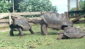 Aldabrachelys gigantea hololissa - Living adult specimens