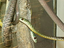 DispholidusTypusBoomslang1.jpg