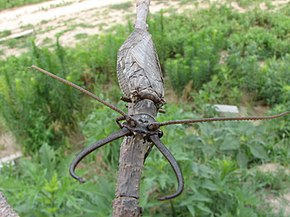 Description de l'image Dobsonfly Corydalus cornutus.JPG.