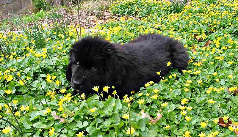Perro Terranova cachorro