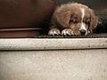 Dog pes.jpg
