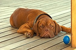 Dogue de Bordeaux one of the most ancient French breeds