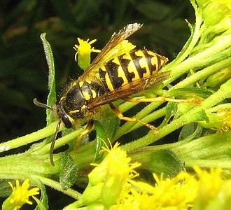 Dolichovespula - D. arenaria on goldenrod
