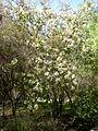Dombeya rotundifolia 1c.JPG