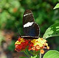Doris longwing. Laparus doris - Flickr - gailhampshire.jpg