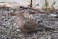 Dove (26456515105).jpg