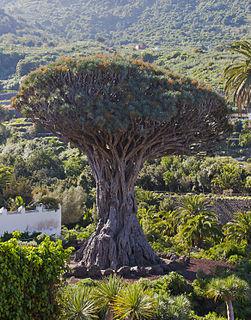 El Drago Milenario giant tree in Icod de los Vinos, Tenerife