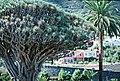 Dragon's blood tree (ДРАКОНОВО ДЕРЕВО) - panoramio (3).jpg