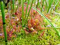 Drosera rotundifolia habitat.jpg