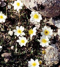 Dryas integrifolia 1997-08-05