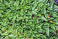 Dryas octopetala in Wellington Botanical Garden.jpg