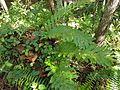 Drynaria quercifolia - Bukidnon Philippines.jpg