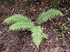 Dryopteris affinis fronds.jpg