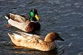Ducks7904.jpg