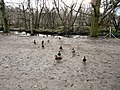 Ducks at Etherow Country Park - geograph.org.uk - 1614207.jpg