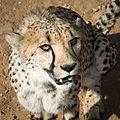 Duesternbrook Gepard.jpg